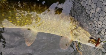 Hecht in Savage Gear Tele Folding Rubbermesh Kescher von Savage Gear. Gefangen auf Bait Breath TT Shad