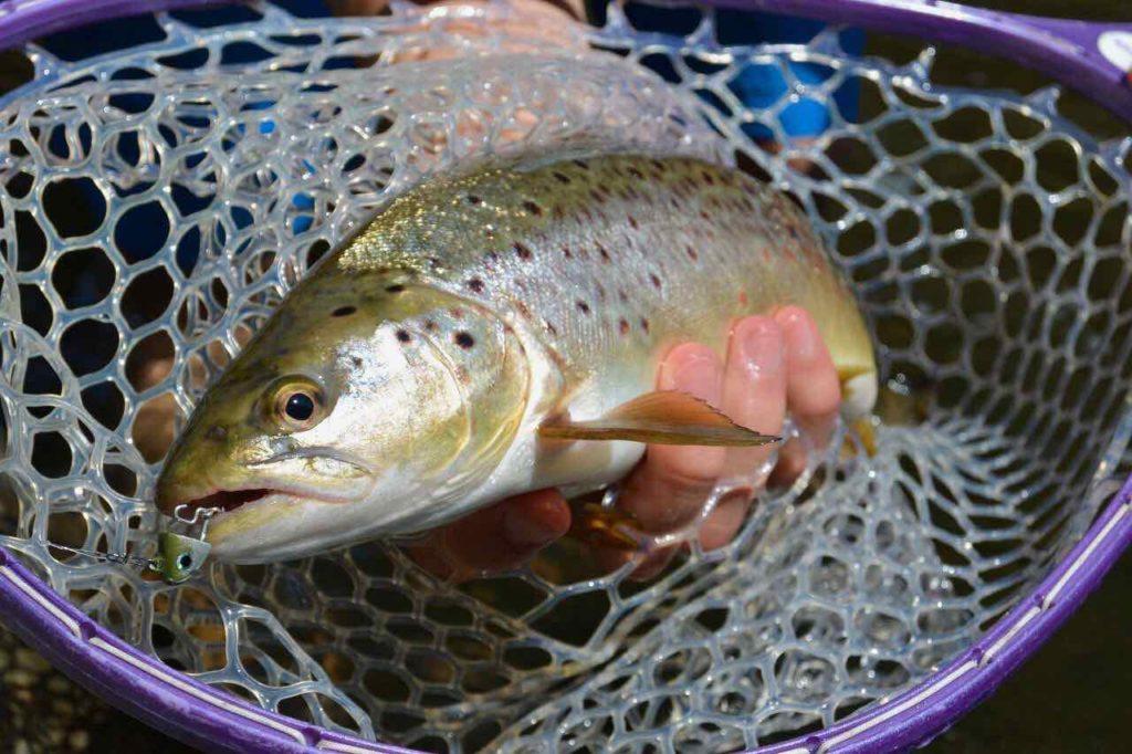 Forelle im Kescher - gefangen auf Black Minnow von Fiiish